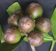 Lacmellea speciosa Fruit