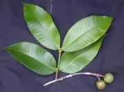 Lacmellea speciosa Fruit Leaf