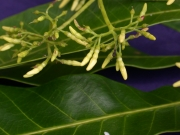 Laxoplumeria tessmannii Flower
