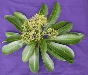 Laxoplumeria tessmannii Flower Leaf