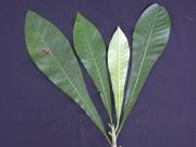 Laxoplumeria tessmannii Leaf