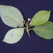 Macoubea mesoamericana Flower Leaf