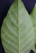 Malouetia guatemalensis Leaf