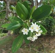 Plumeria rubra Flower Leaf