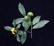 Stemmadenia grandiflora Flower Fruit Leaf