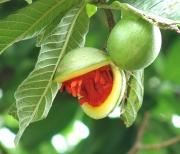 Stemmadenia obovata Fruit