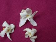 Tabernaemontana arborea Flower