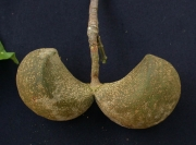 Tabernaemontana arborea Fruit