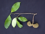 Tabernaemontana arborea Fruit Leaf