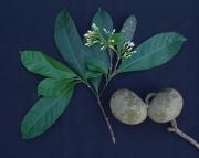 Tabernaemontana arborea Flower Fruit Leaf