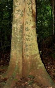 Tabernaemontana arborea Trunk