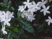 Tabernaemontana divaricata Flower Leaf
