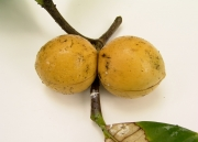 Tabernaemontana panamensis Fruit