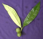 Tabernaemontana panamensis Fruit Leaf
