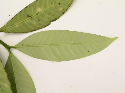 Tabernaemontana panamensis Leaf