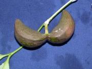 Tabernaemontana undulata Fruit