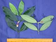 Tabernaemontana undulata Flower Leaf