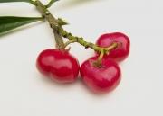 Thevetia ahouai Fruit