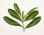 Thevetia ahouai Flower Leaf