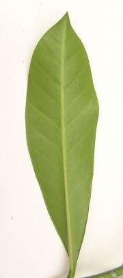 Thevetia ahouai Leaf