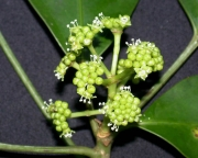 Dendropanax arboreus Flower