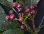 Dendropanax arboreus Fruit