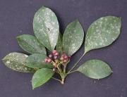 Dendropanax arboreus Fruit Leaf