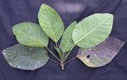 Dendropanax sessiliflorus Leaf