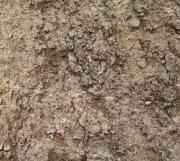 Schefflera morototoni Bark