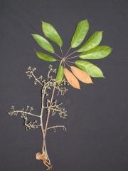 Schefflera morototoni Fruit Leaf