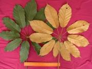 Schefflera morototoni Leaf