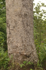 Schefflera morototoni Trunk
