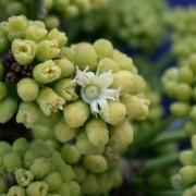 Sciadodendron excelsum Flower