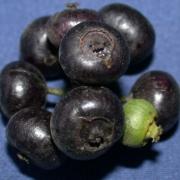 Sciadodendron excelsum Fruit