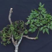 Sciadodendron excelsum Fruit Leaf