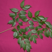 Sciadodendron excelsum Leaf