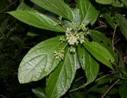 Koanophyllon wetmorei Flower Leaf