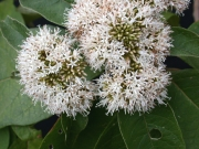 Pollalesta discolor Flower