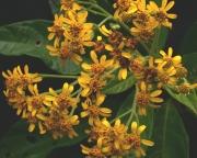 Verbesina lanata Flower