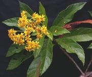 Verbesina lanata Flower Leaf