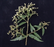 Vernonanthura patens Flower Leaf