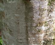 Alnus acuminata Bark