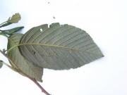 Alnus acuminata Leaf