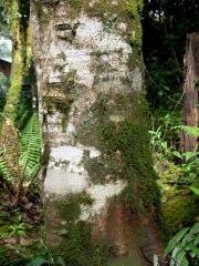 Alnus acuminata Trunk