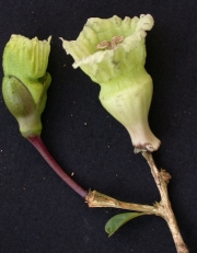Amphitecna spathicalyx Flower