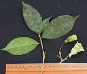 Amphitecna spathicalyx Flower Leaf