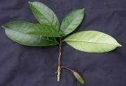 Amphitecna spathicalyx Fruit Leaf