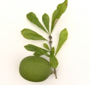 Crescentia cujete Fruit Leaf