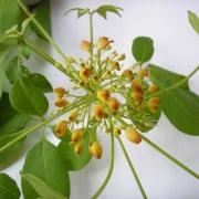 Godmania aesculifolia Flower