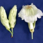 Parmentiera cereifera Flower